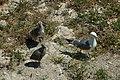Yellow-legged gull - gabbiano reale mediterraneo (Larus michahellis).jpg