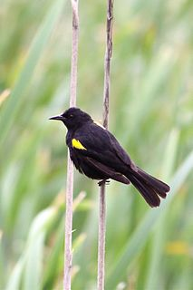 Yellow-winged blackbird species of bird