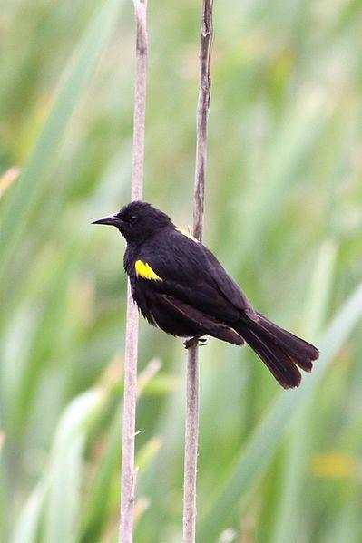 Ficheiro:Yellow-winged Blackbird.jpg