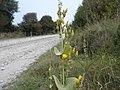 Yellow-wort - Blackstonia perfoliata - geograph.org.uk - 1513077.jpg