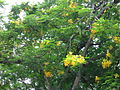 Yellow Delonix Regia.jpg