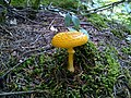 Yellow Mushroom in Fundy National Park.jpg