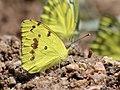 Yellow orange tip puddling from Savandurga IMG 9691.jpg