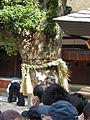 Yokoduna of Cinnamomum camphora in Sumiyosi Taisha IMG 1460 20130302.JPG