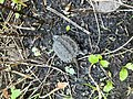 Young Snapping Turtle (36798306161).jpg