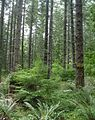 Young conifer stand in Western Oregon.JPEG