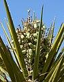 Yucca schidigera 25.jpg