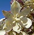 Yucca schidigera 8.jpg