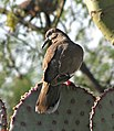 Zenaida asiatica -Tuscon -Arizona -USA -back-8a.jpg