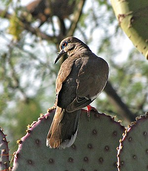 White-winged dove - In Tucson, Arizona