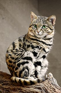Black-footed cat Small wild cat native to Southern Africa