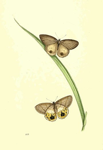 Zoological Illustrations Volume III Plate 159.jpg