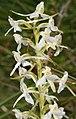 Zweiblättrige Waldhyazinthe Platanthera bifolia.jpg