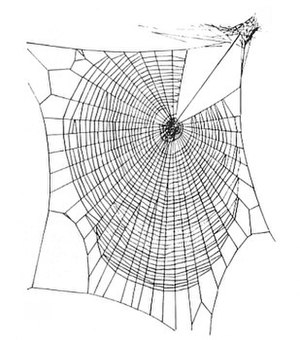 The orb web of Zygiella spiders have missing s...