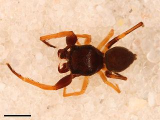 <i>Zygoballus optatus</i> species of arachnid