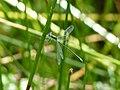 Zygoptera - Comper pond 01.jpg