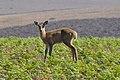 (?) Antilope Young (15058247651).jpg