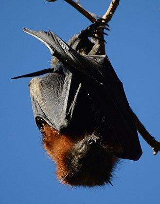 Centennial Parklands - Flying fox in Lachlan Swamp