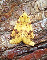 (2274) The Sallow (Cirrhia icteritia) (37160657476).jpg
