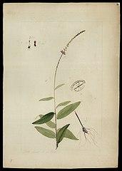 (Desmodium platycarpum, Benth)