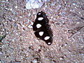 (Hypolimnas misippus) Danaid eggfly at KBR Park.jpg