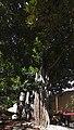 Árbol en la calle de San Francisco, Santa Cruz de Tenerife, España, 2012-12-15, DD 01.jpg