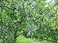 Болезни яблони - мучнистая роса (сорт Пскентское №3)-01.jpg