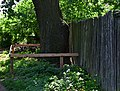 Дуб Котова DSC 0937.jpg
