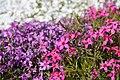 Кольоровий килим квітів у Криворізькому ботанічному саду НАН України.jpg