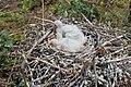 Пташенята косаря (Platalea leucorodia) на гнізді.jpg