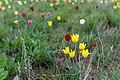 Тюльпаны в оренбургских степях 6.jpg