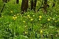Тільпан дібровний (Tulipa quercetorum), Берестово.JPG