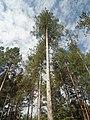 Черен бор, Средна гора.jpg