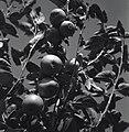 בית אורן - תפוחי עץ, תוצרת דליה.-JNF032299.jpeg