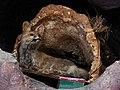 حیوانات تاکسی درمی شده - موزه تاریخ طبیعی شهر قم 20.jpg