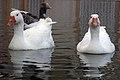 غاز -Geese 03.jpg