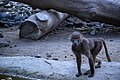 مجموعه عکس از رفتار میمون ها در باغ وحش تفلیس- گرجستان 01.jpg