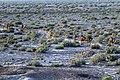 چرای گله شتر - حوالی کاروانسرای دیر گچین قم - پارک ملی کویر 24.jpg