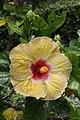 ชบา Hibiscus rosa-sinensis L. Photographs by Peak Hora (13).jpg