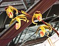 兜蘭屬 Paphiopedilum gigantifolium -台南國際蘭展 Taiwan International Orchid Show- (26028600447).jpg