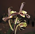報歲梅皇 Cymbidium sinense 'Prune King' -香港沙田國蘭展 Shatin Orchid Show, Hong Kong- (12235517324).jpg