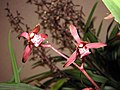 報歲紅太陽 Cymbidium sinense 'Red Sun' -香港沙田洋蘭展 Shatin Orchid Show, Hong Kong- (12247700985).jpg