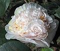 山茶花-重瓣牡丹型 Camellia japonica Double - Peony Form -香港大埔海濱公園 Taipo Waterfront Park, Hong Kong- (14278789149).jpg