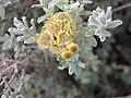 擬蠟菊屬 Helichrysum felinum -牛津大學植物園 Oxford Botanic Garden- (9213294655).jpg