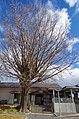 新田駅前のイチョウの木 Ginkgo tree in front of Shinden station 2013.1.10 - panoramio.jpg