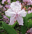 杜鵑花屬 Rhododendron x kesselringii -哥本哈根大學植物園 Copenhagen University Botanical Garden- (37082437265).jpg