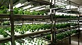 桑の水耕栽培をされているストリームさんにて (37776549804).jpg
