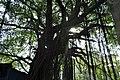 榕樹示例圖2.jpg