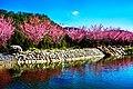 櫻花在臺灣臺中市武陵農場 Cherry blossom - Sakura in Wuling Farm, Taichung City, TAIWAN.jpg