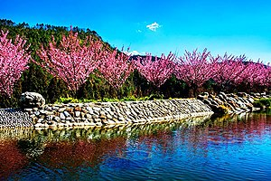 Wuling Farm - Image: 櫻花在臺灣臺中市武陵農場 Cherry blossom Sakura in Wuling Farm, Taichung City, TAIWAN